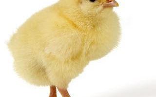 Что значит выражение цыплят по осени считают?