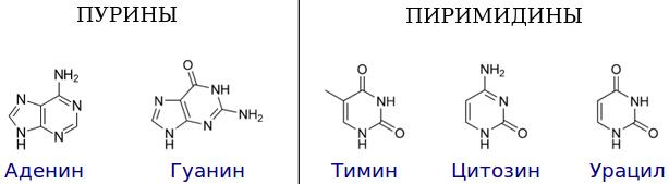 Что собой представляет нуклеотид: вид, строение и длина одного нуклеотида