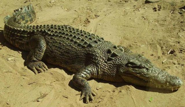 Выражение Крокодиловы слезы: значение фразеологизма, происхождение и научное объяснение