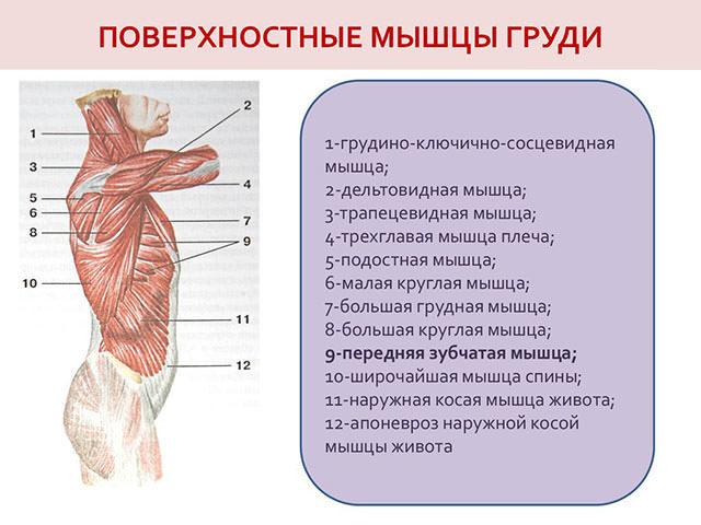 Строение грудной клетки человека: сколько пар рёбер у взрослого и ребёнка, их виды