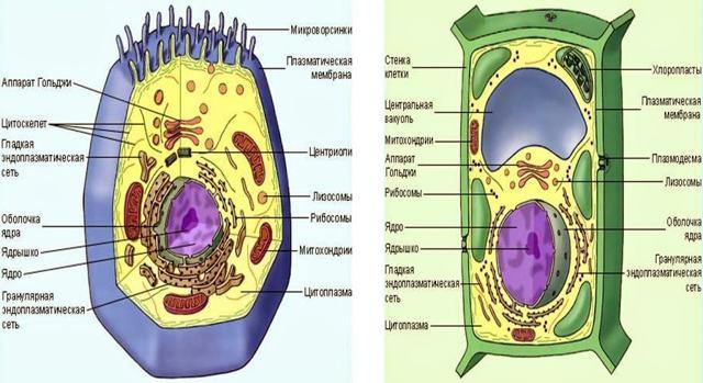 Вакуоль у эукариот: состав растительных и животных клеток, строение и функции, типы вакуолей