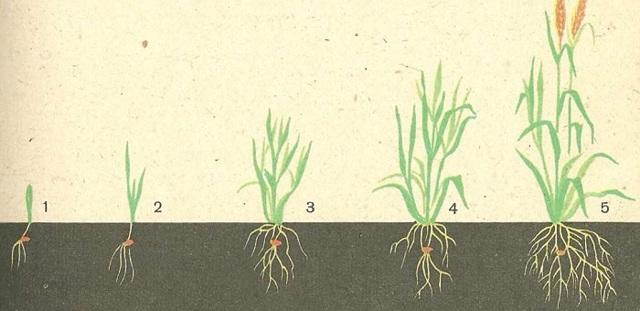 Растение семейства злаков: классификация, особенности, сферы применения